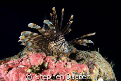 Everybody seems to like the lion fish shots so here is on... by Stephen Juarez 